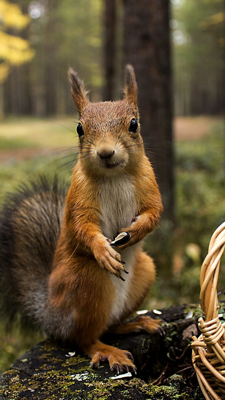 Red Squirrel Wallpaper for Motorola Moto G
