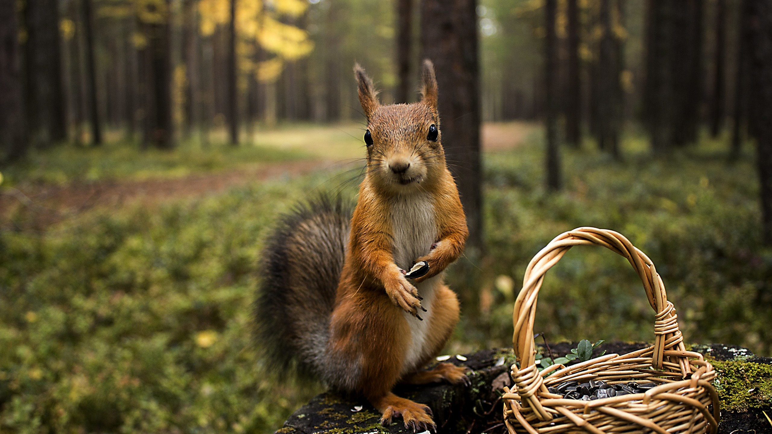 Red Squirrel Wallpaper for Social Media YouTube Channel Art