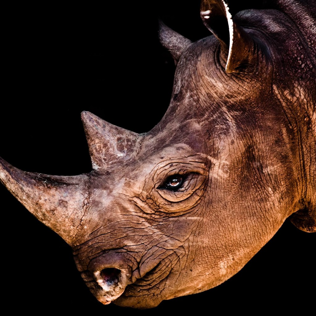 Rhinoceros Portrait Wallpaper for Apple iPad 2