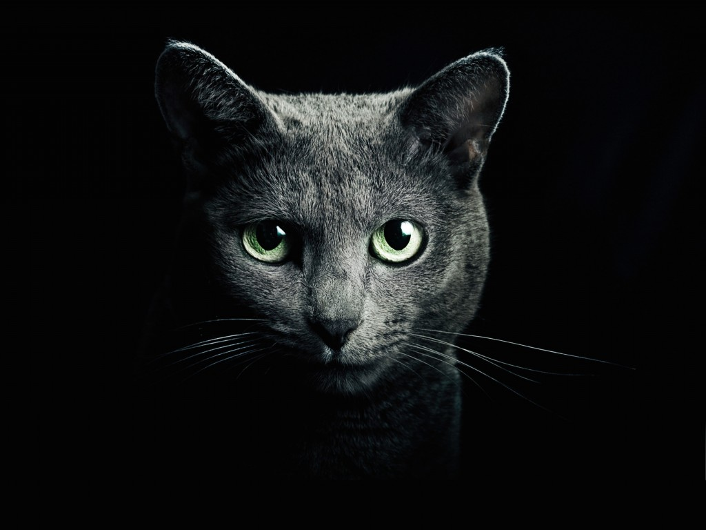 Russian Blue Cat Wallpaper for Desktop 1024x768