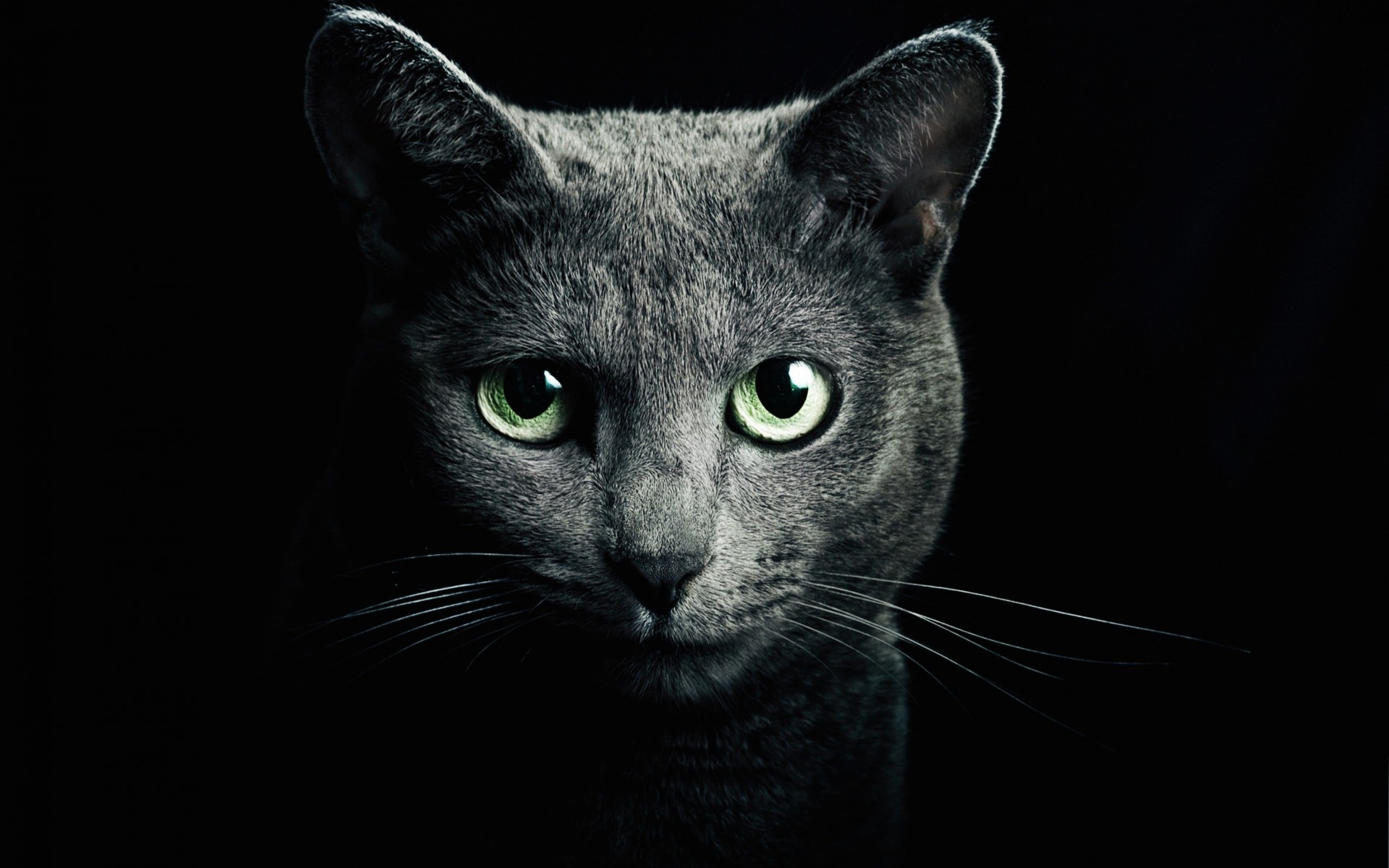 Russian Blue Cat Wallpaper for Desktop 1920x1200