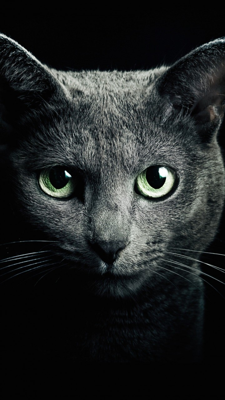 Russian Blue Cat Wallpaper for Motorola Droid Razr HD