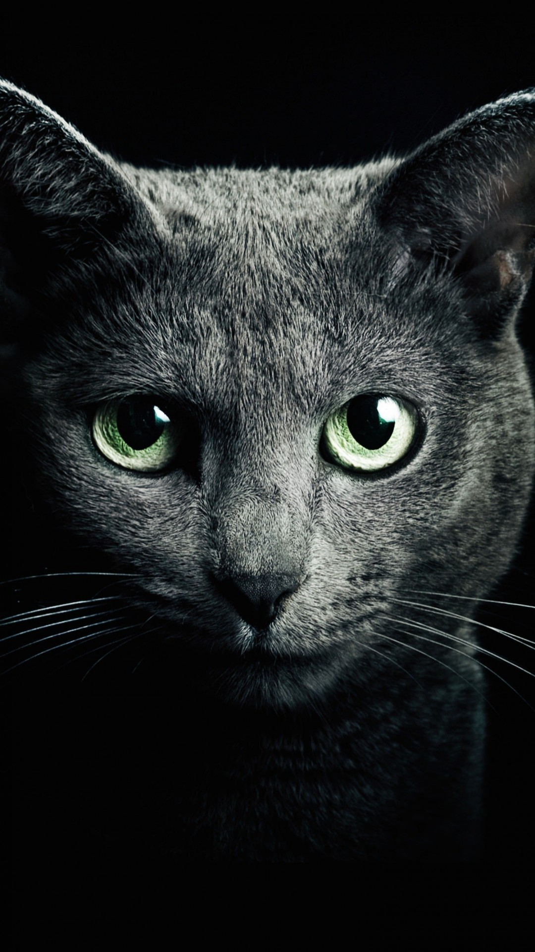 Russian Blue Cat Wallpaper for SAMSUNG Galaxy S4