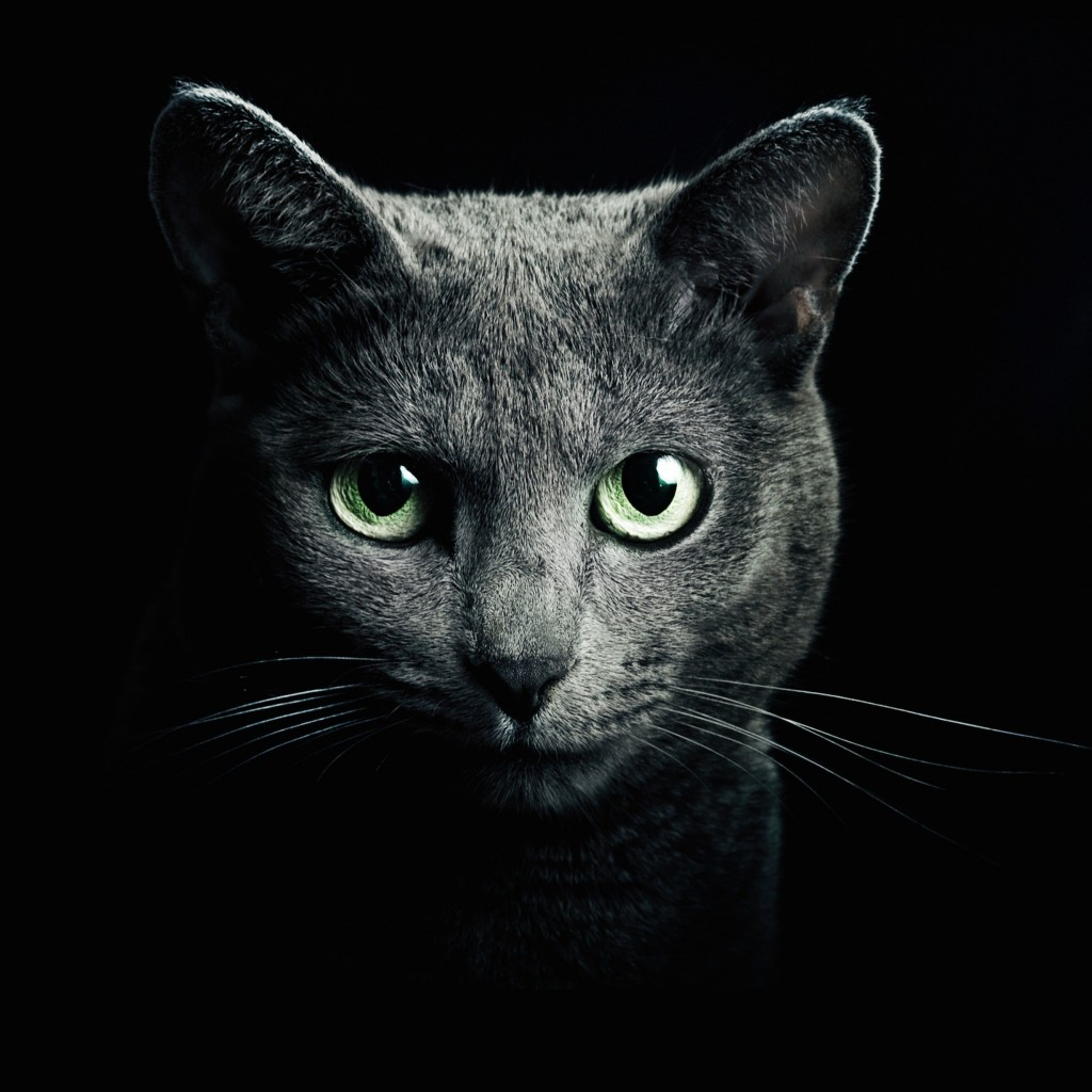 Russian Blue Cat Wallpaper for Apple iPad 2