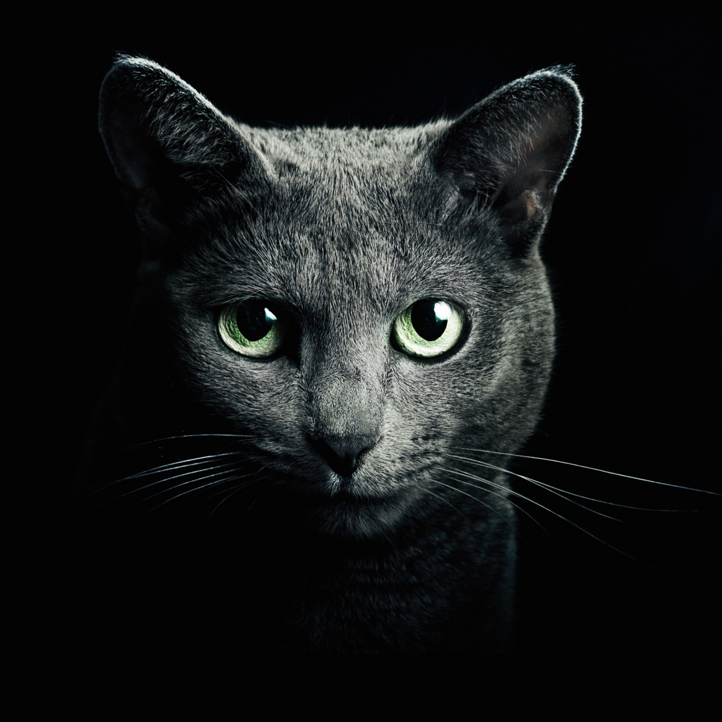 Russian Blue Cat Wallpaper for Apple iPad Air