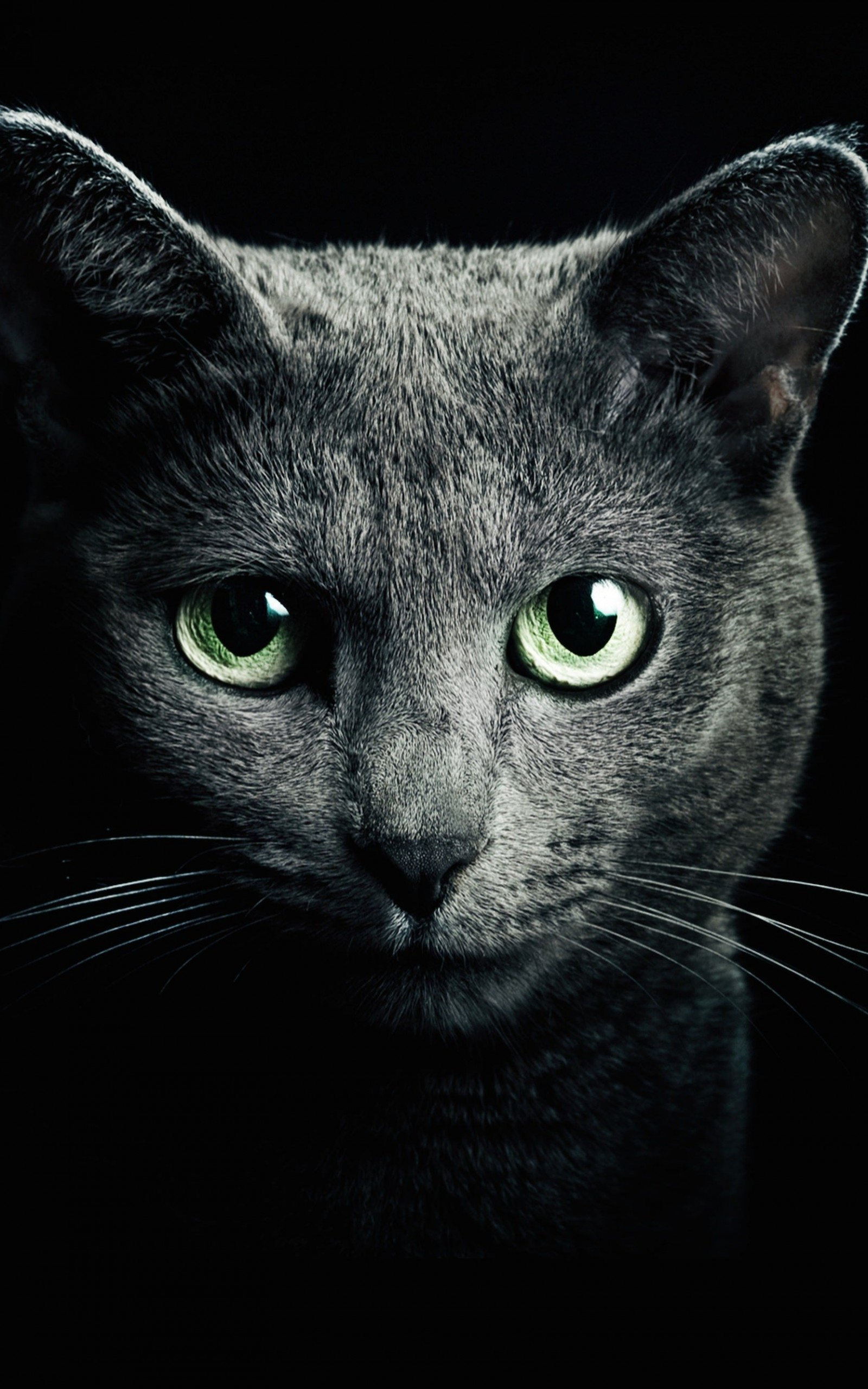 Russian Blue Cat Wallpaper for Amazon Kindle Fire HDX 8.9