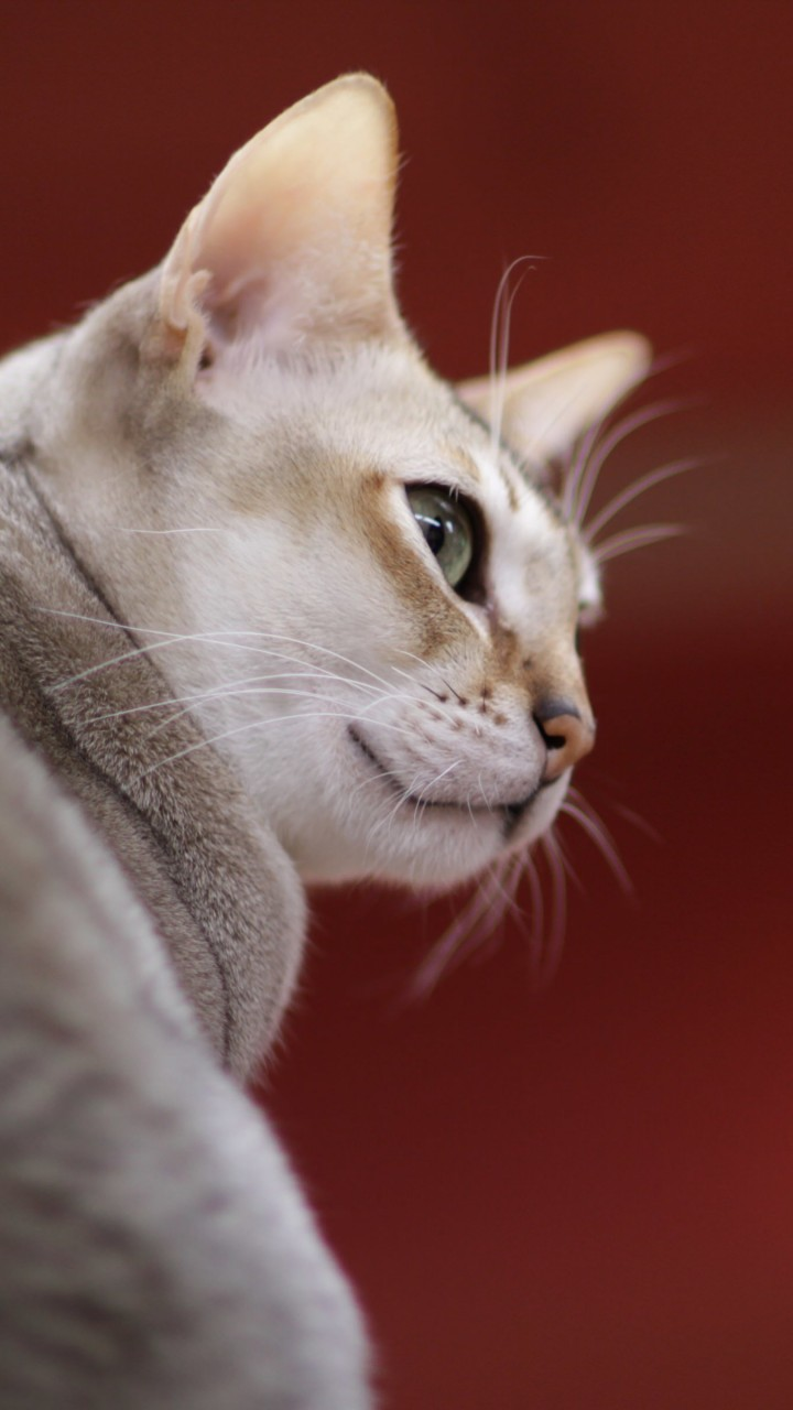 Singapura Cat Wallpaper for HTC One X