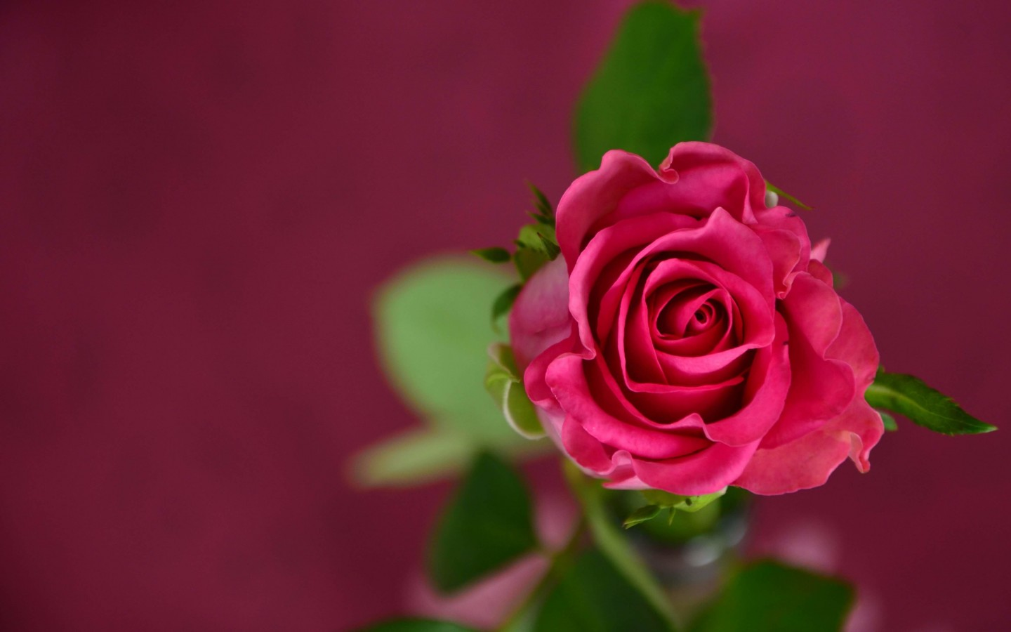 Single Pink Rose Wallpaper for Desktop 1440x900