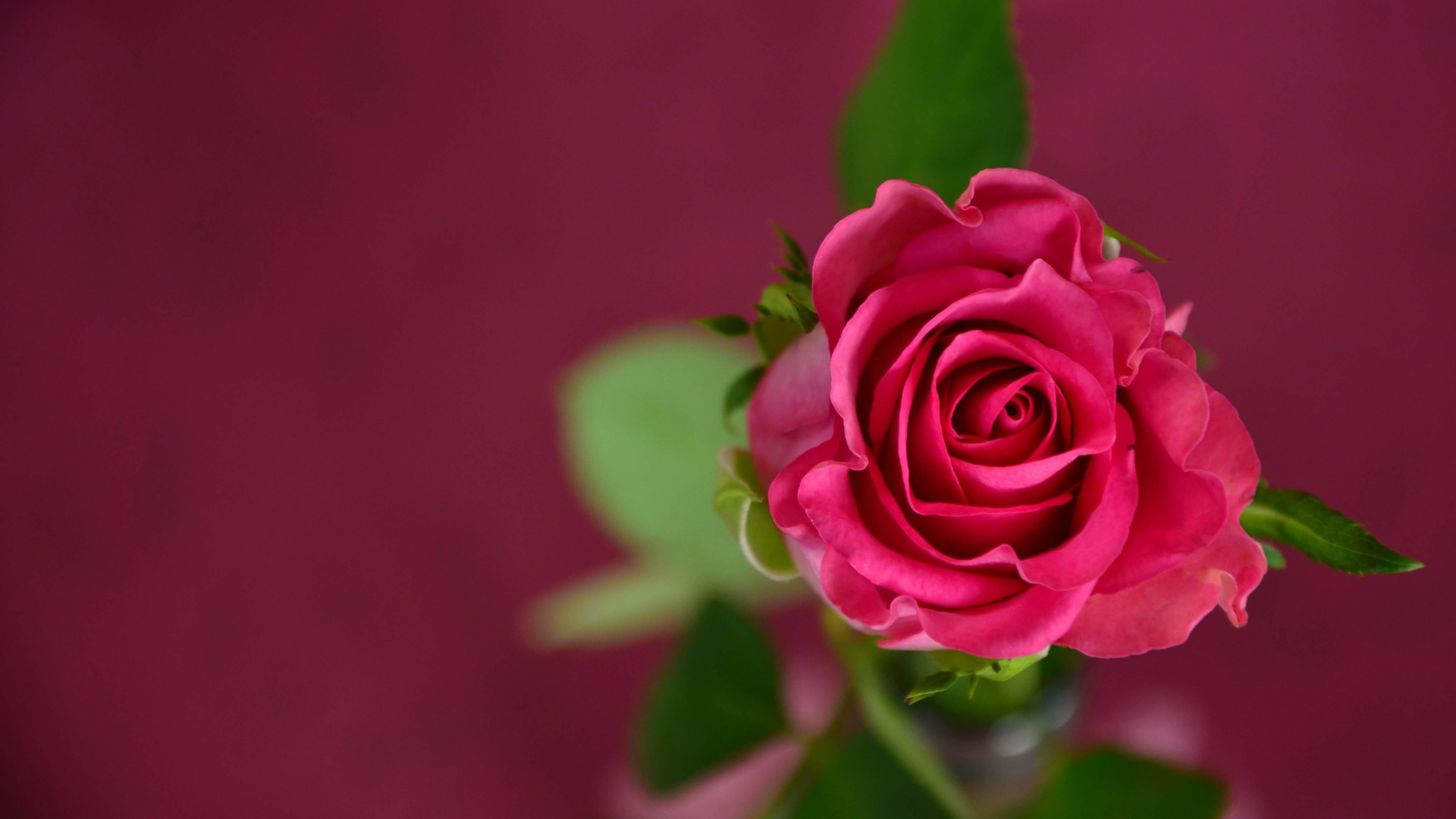 Single Pink Rose Wallpaper for Desktop 4K 3840x2160