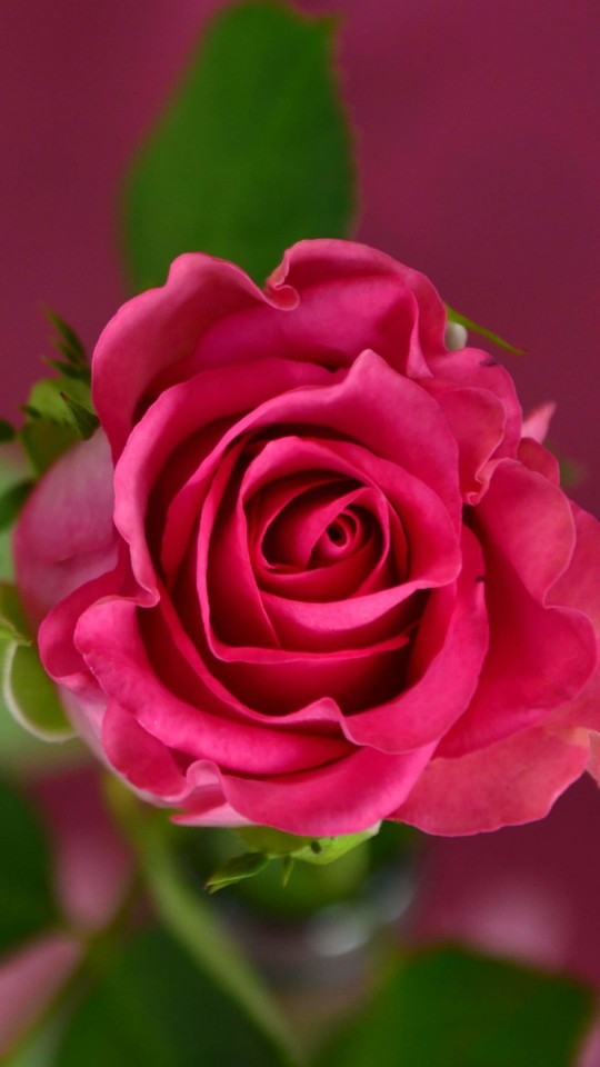 Single Pink Rose Wallpaper for SAMSUNG Galaxy S4 Mini