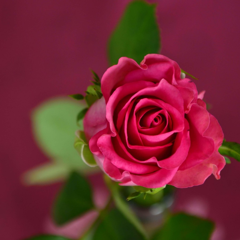 Single Pink Rose Wallpaper for Apple iPad 2