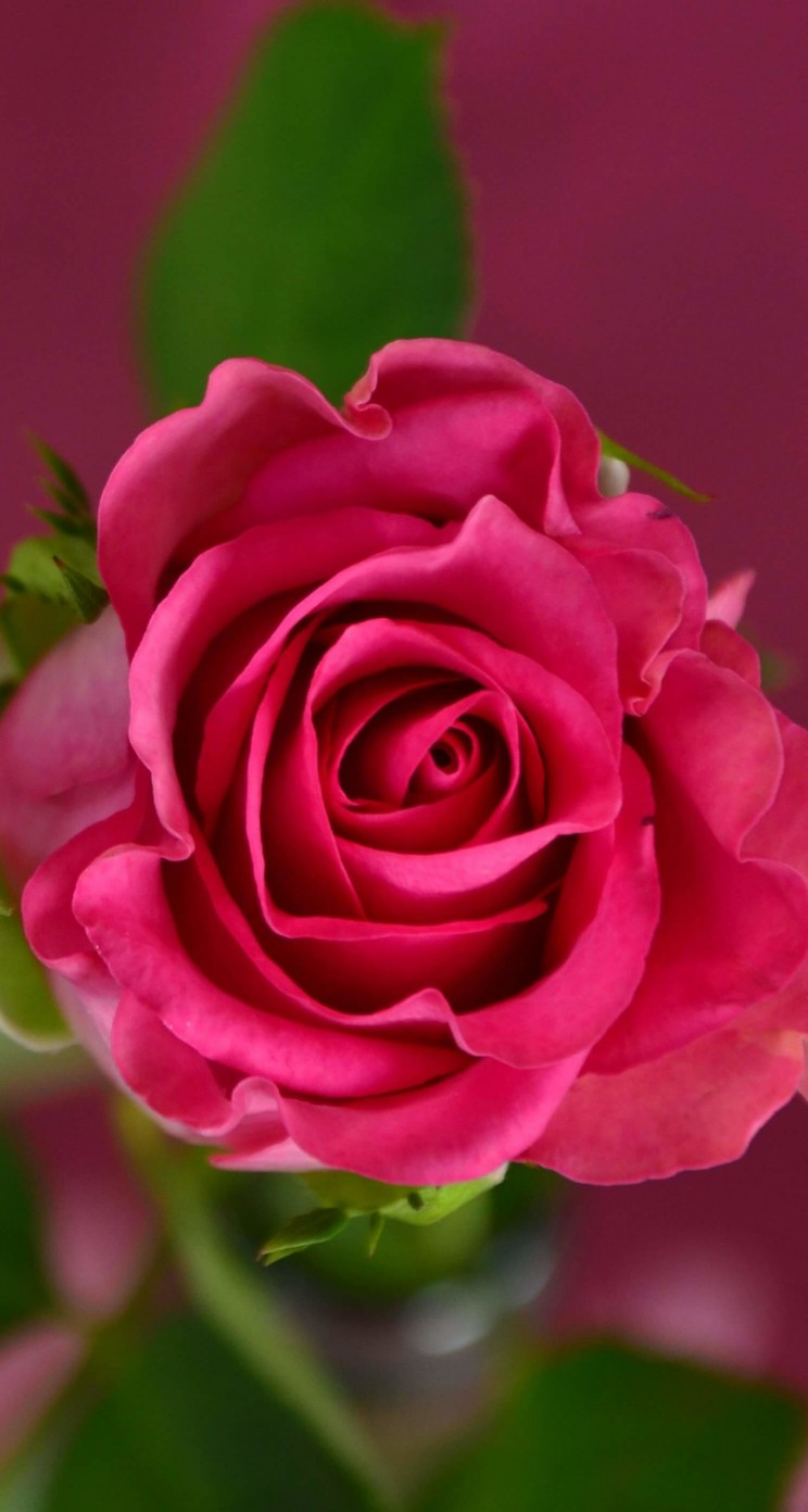 Single Pink Rose Wallpaper for Apple iPhone 5 / 5s