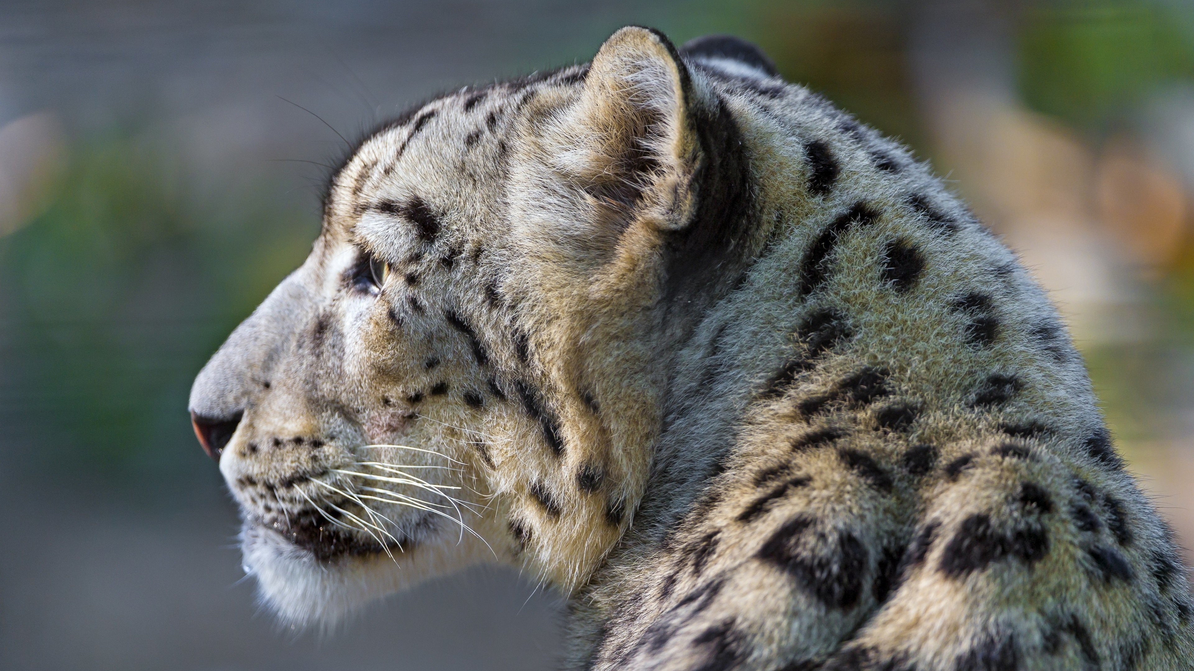 Snow Leopard Face Profile Wallpaper for Desktop 4K 3840x2160