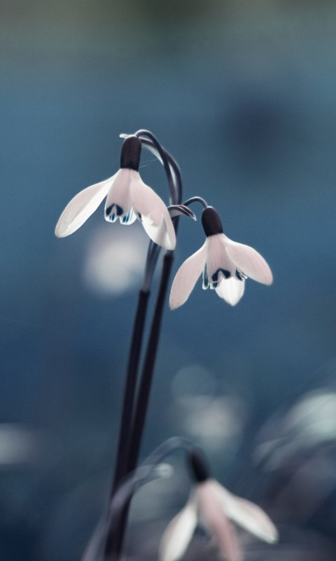 "Snowdrop ""Galanthus"" Wallpaper for SAMSUNG Galaxy S3 Mini"