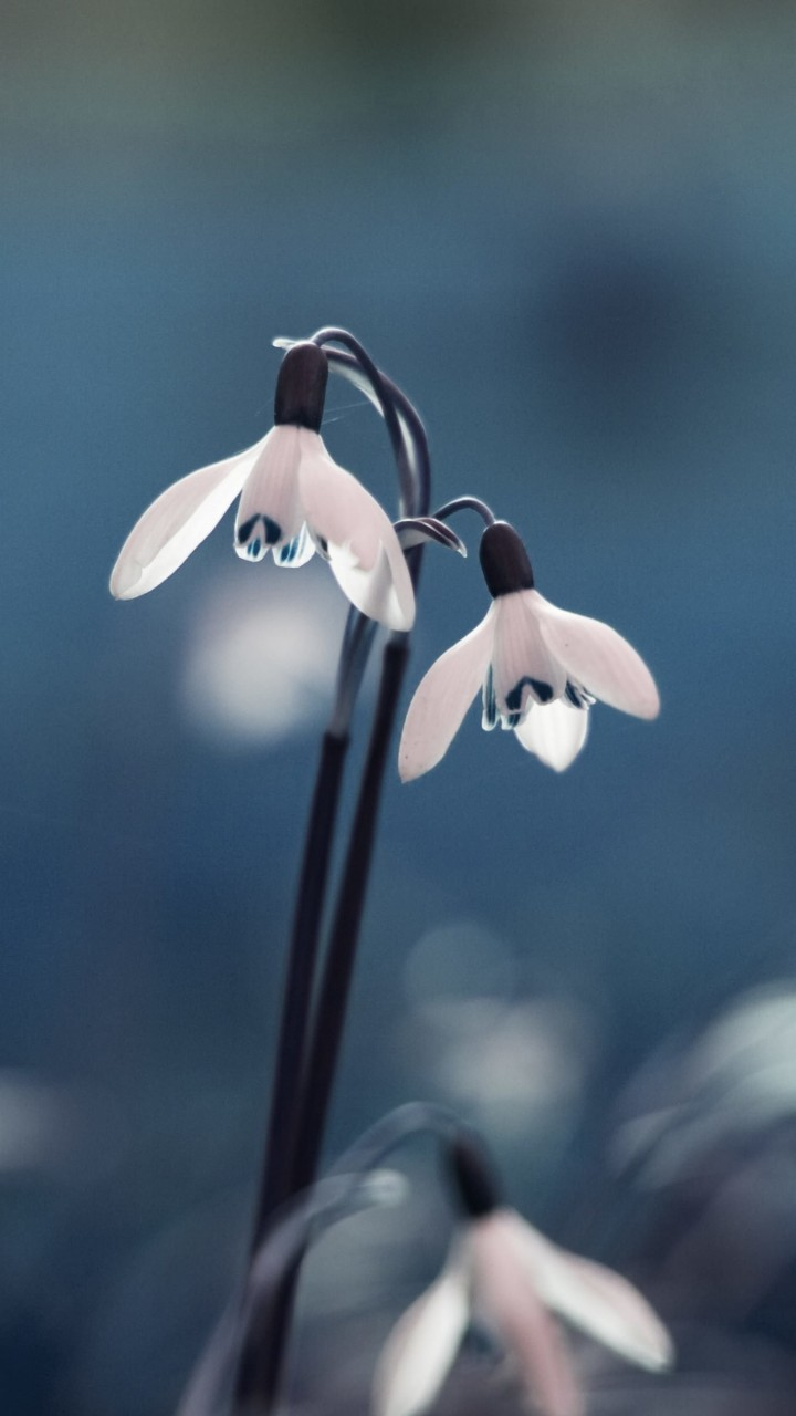 "Snowdrop ""Galanthus"" Wallpaper for HTC One X"