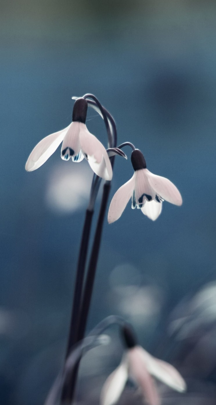 "Snowdrop ""Galanthus"" Wallpaper for Apple iPhone 5 / 5s"