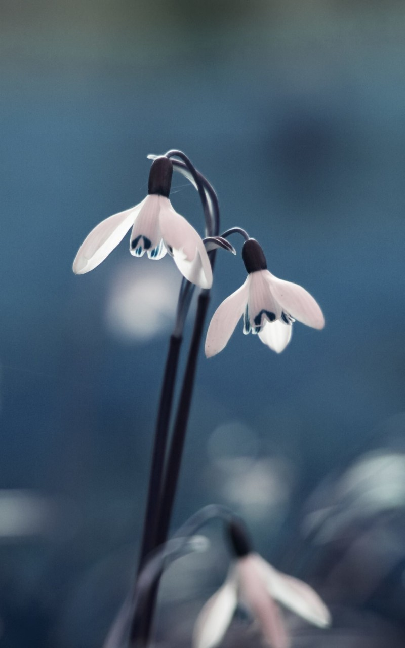 "Snowdrop ""Galanthus"" Wallpaper for Amazon Kindle Fire HD"