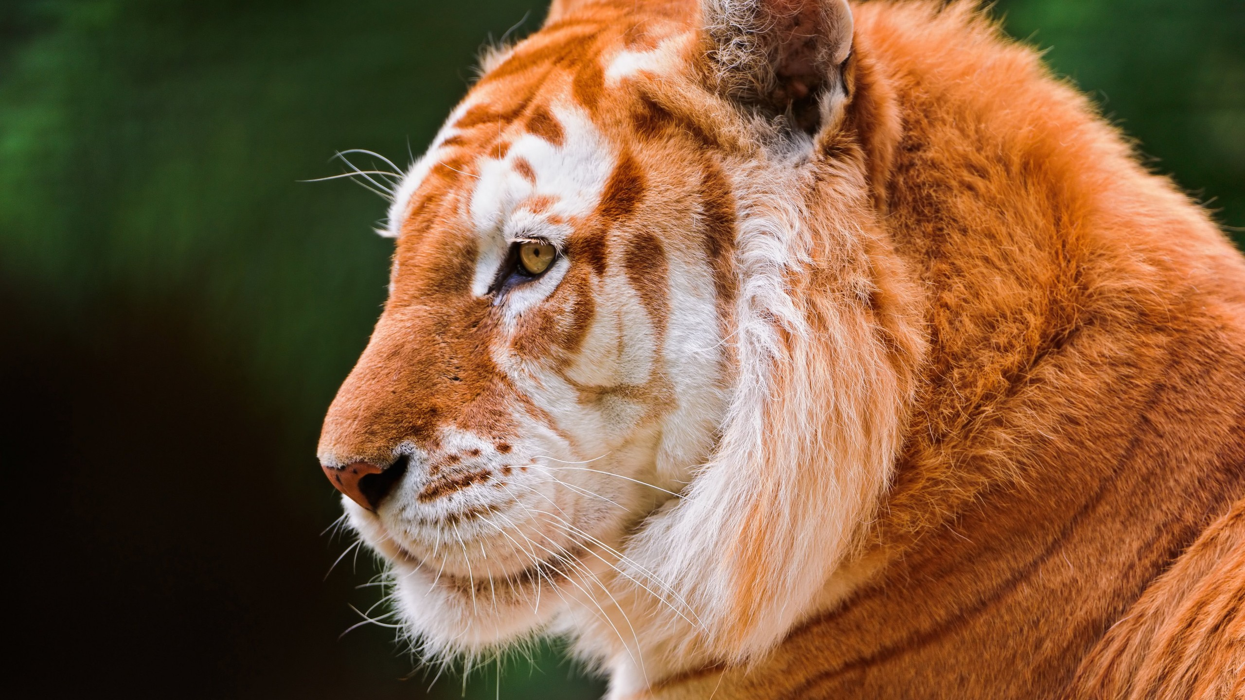 Tiger Wallpaper for Desktop 2560x1440