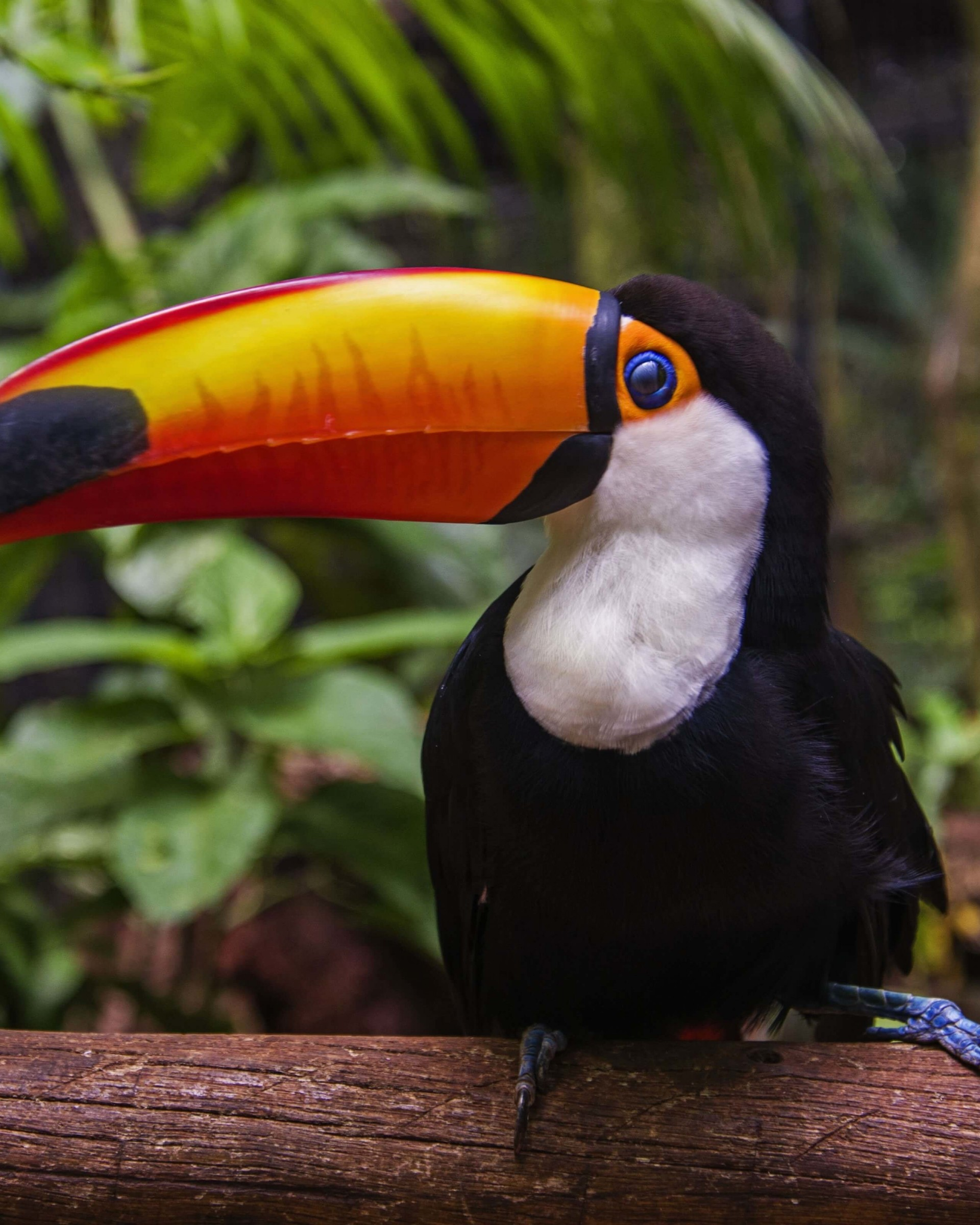 Download Toucan HD wallpaper for Nexus 7