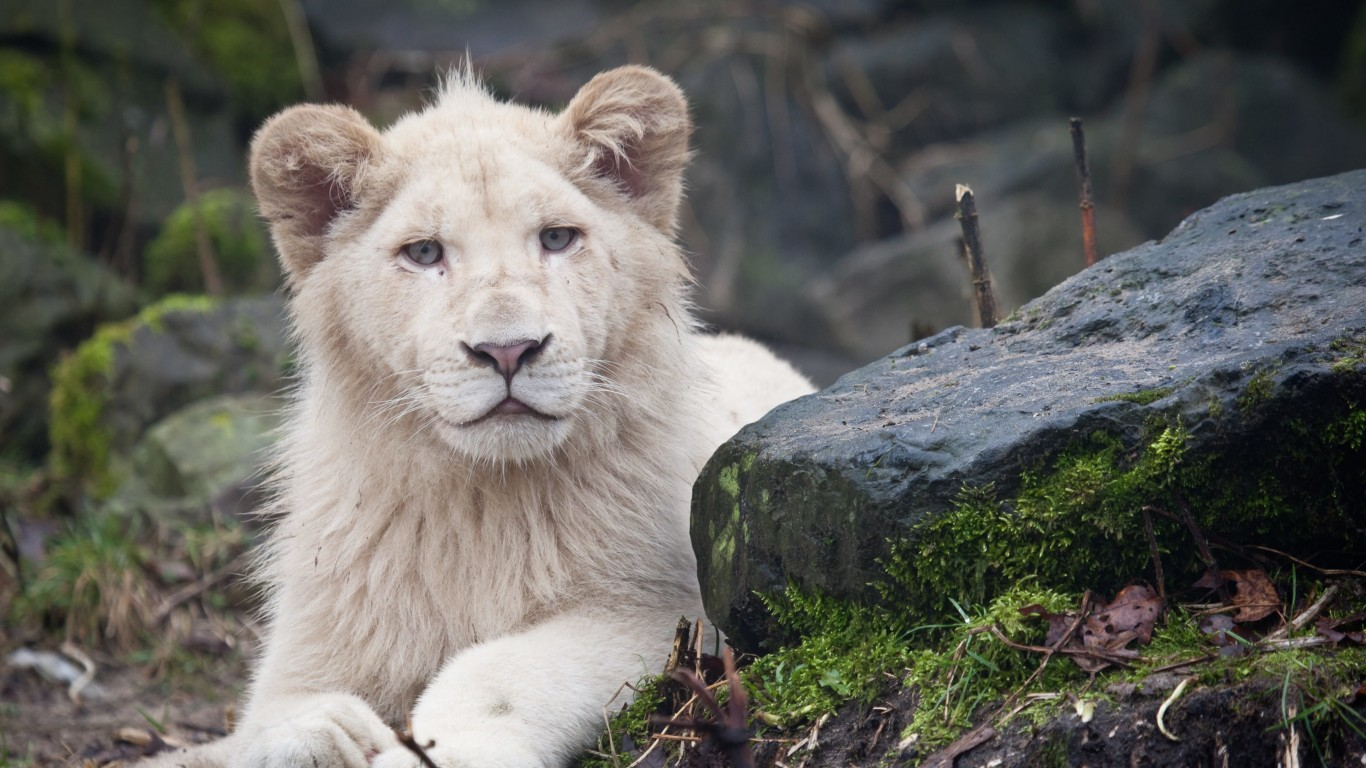 White Lions Wallpaper for Desktop 1366x768