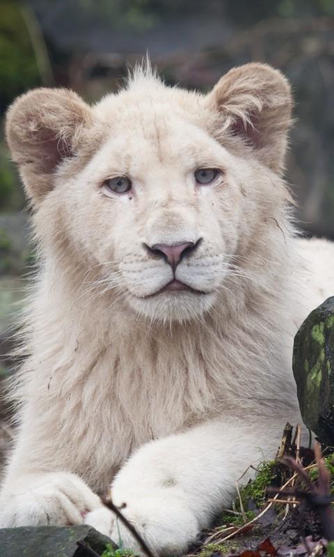 lions wallpaper hd download