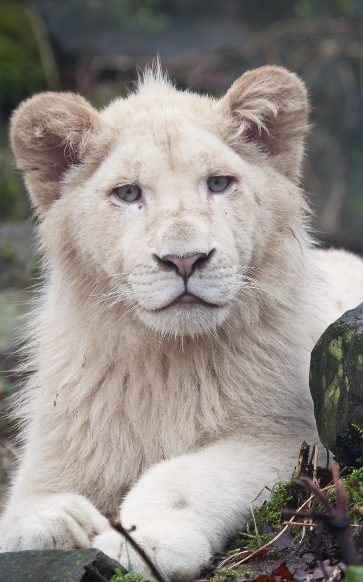 White Lions Wallpaper for Amazon Kindle Fire HDX