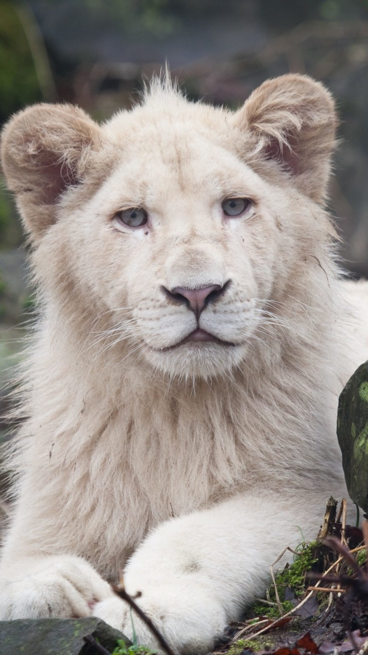 White Lions Wallpaper for Lenovo A6000