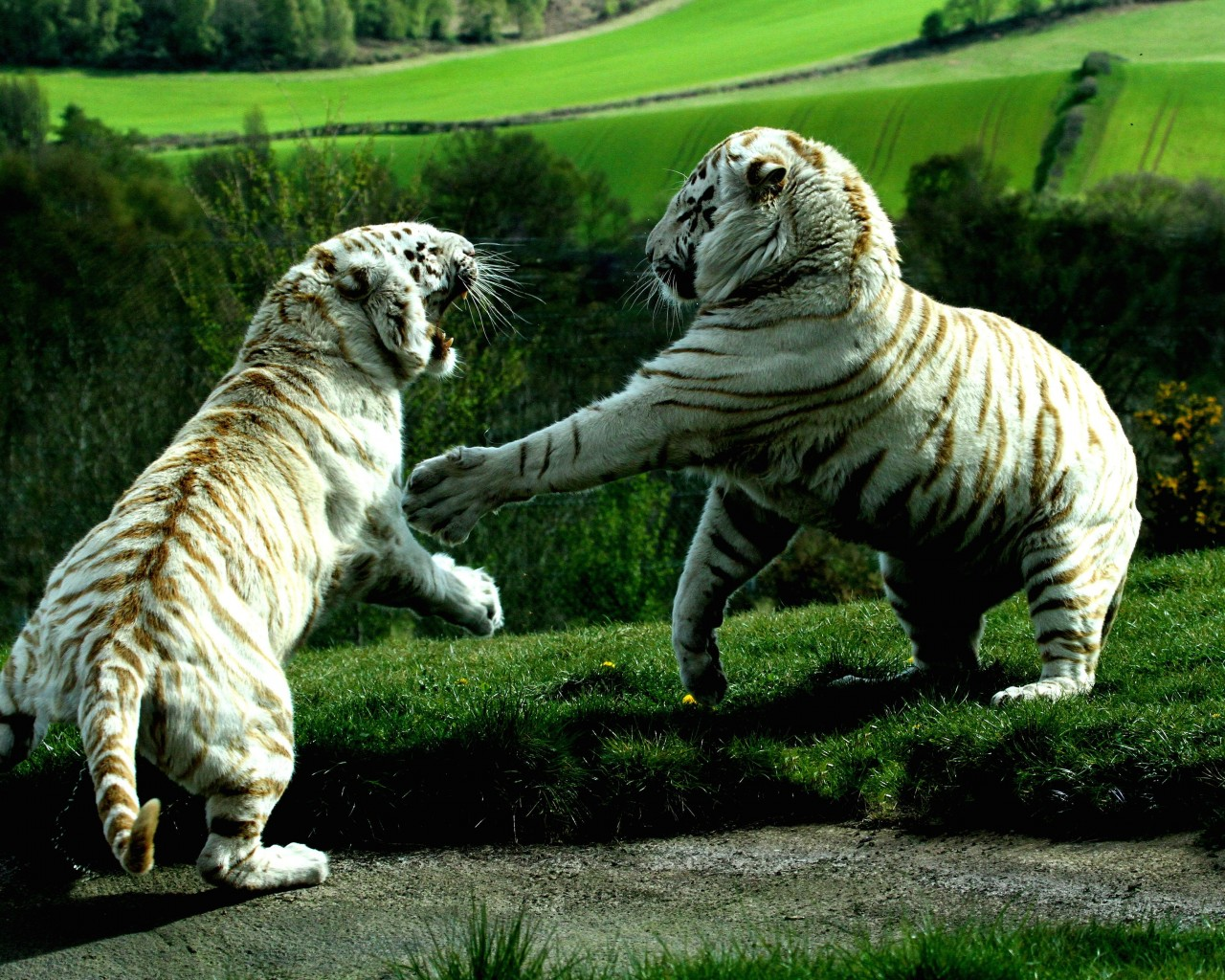 White Tigers Fighting Wallpaper for Desktop 1280x1024