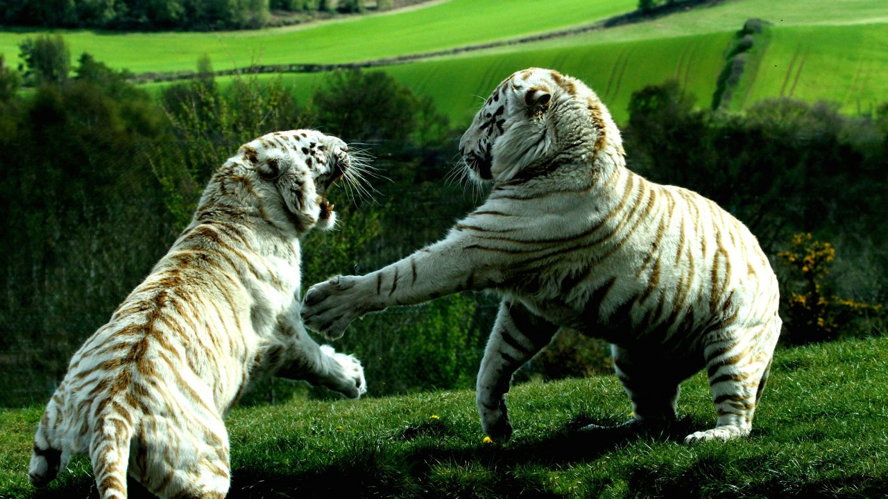 White Tigers Fighting Wallpaper for Desktop 1280x720