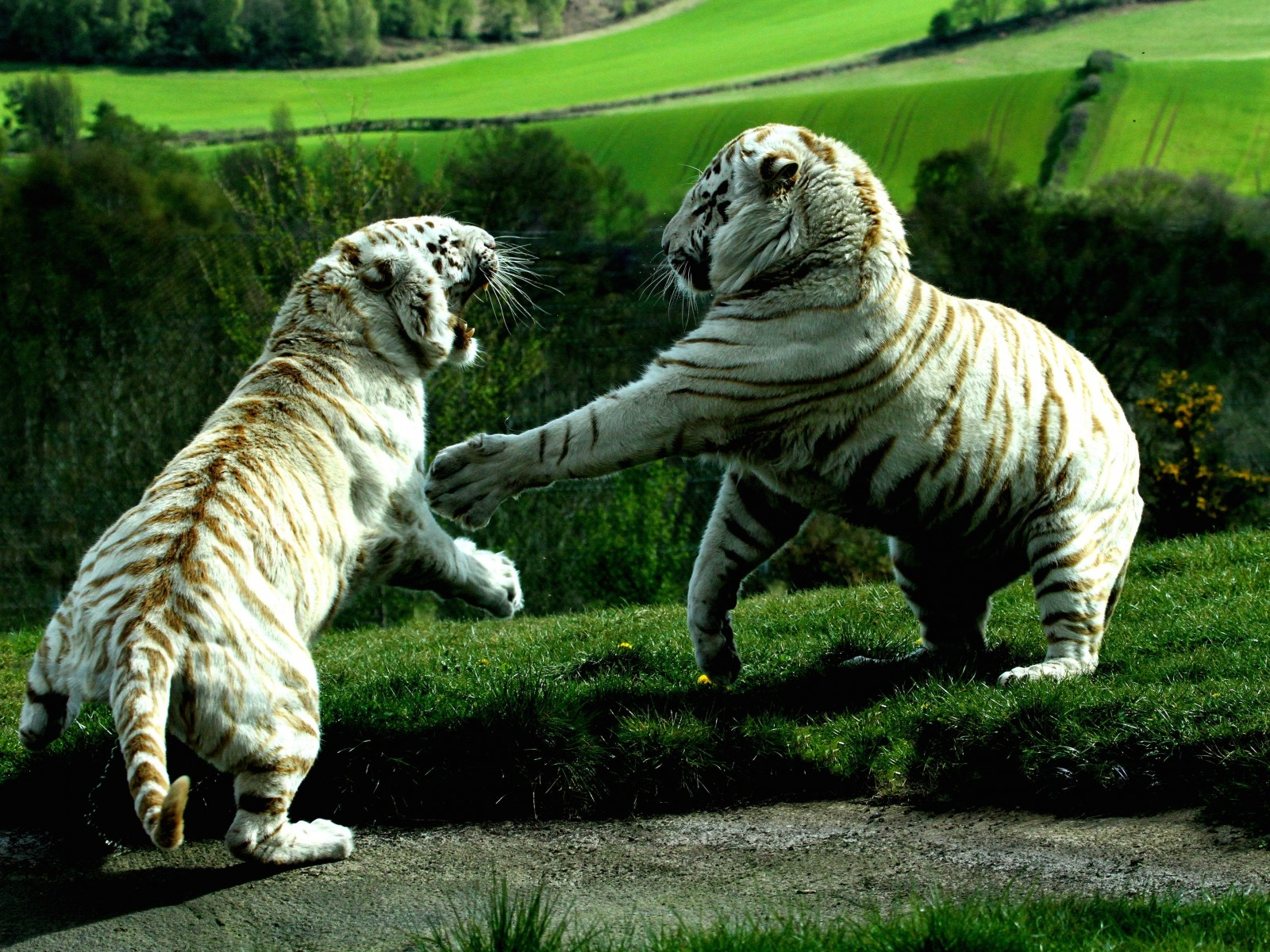 White Tigers Fighting Wallpaper for Desktop 1600x1200