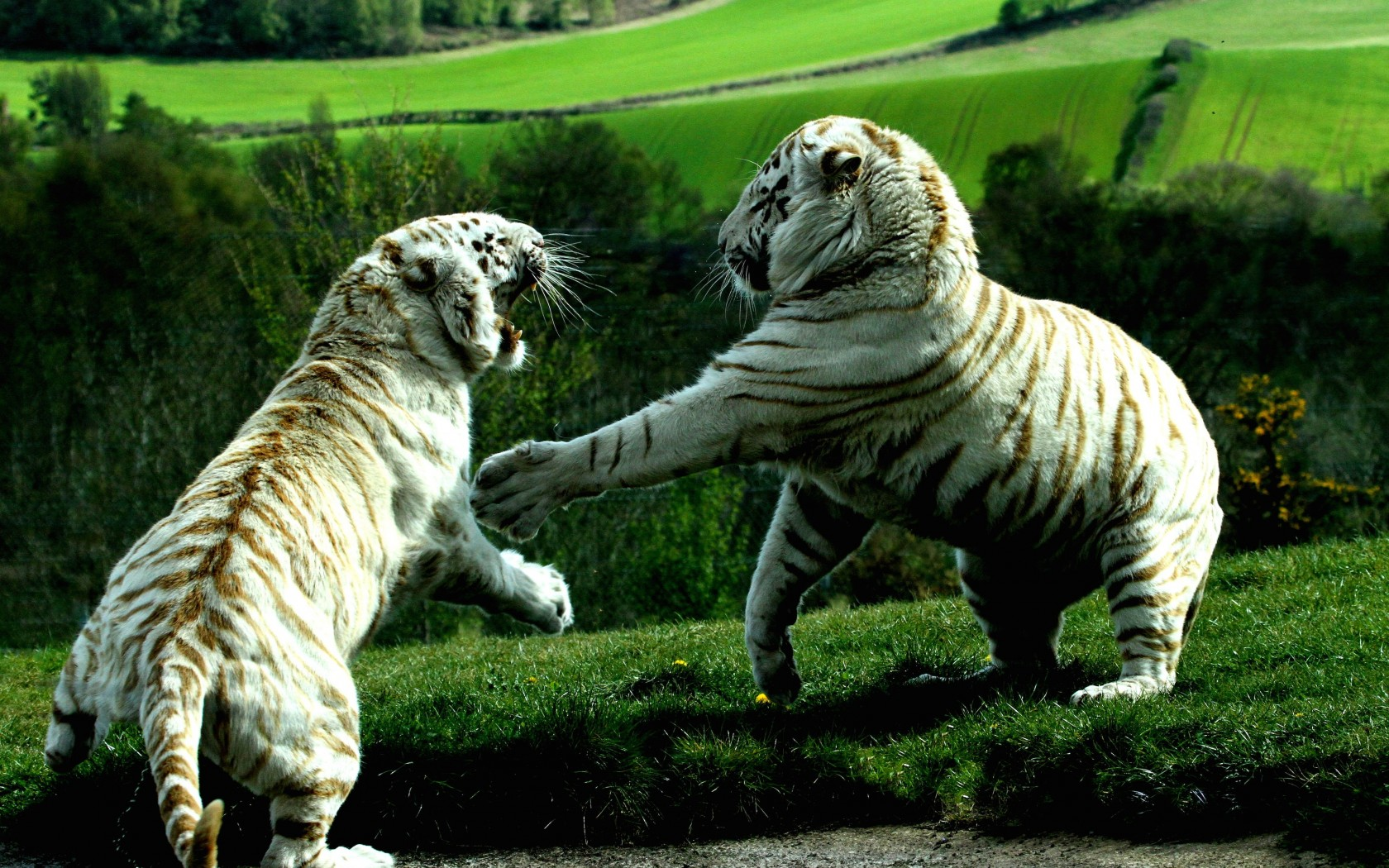 White Tigers Fighting Wallpaper for Desktop 1680x1050