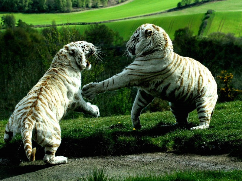 White Tigers Fighting Wallpaper for Desktop 800x600