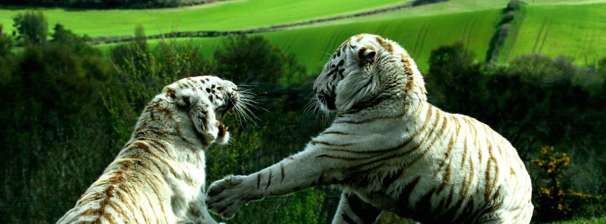 White Tigers Fighting Wallpaper for Social Media Facebook Cover
