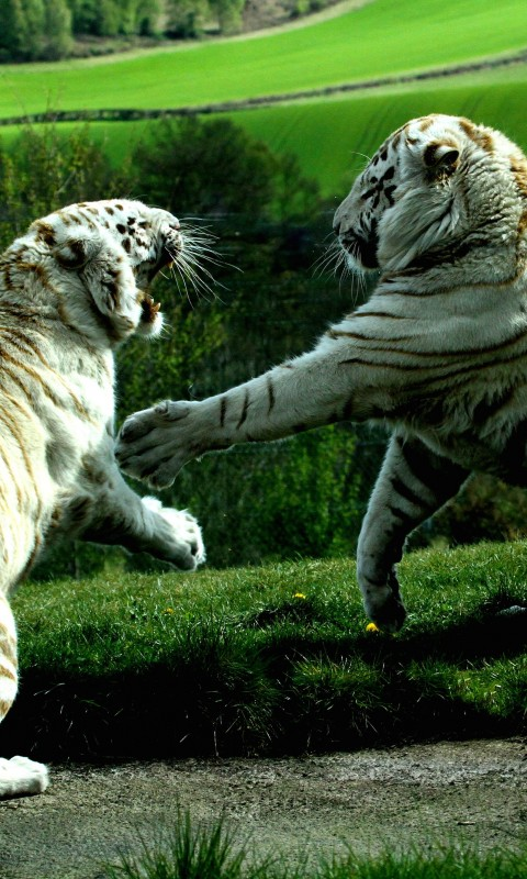 White Tigers Fighting Wallpaper for SAMSUNG Galaxy S3 Mini