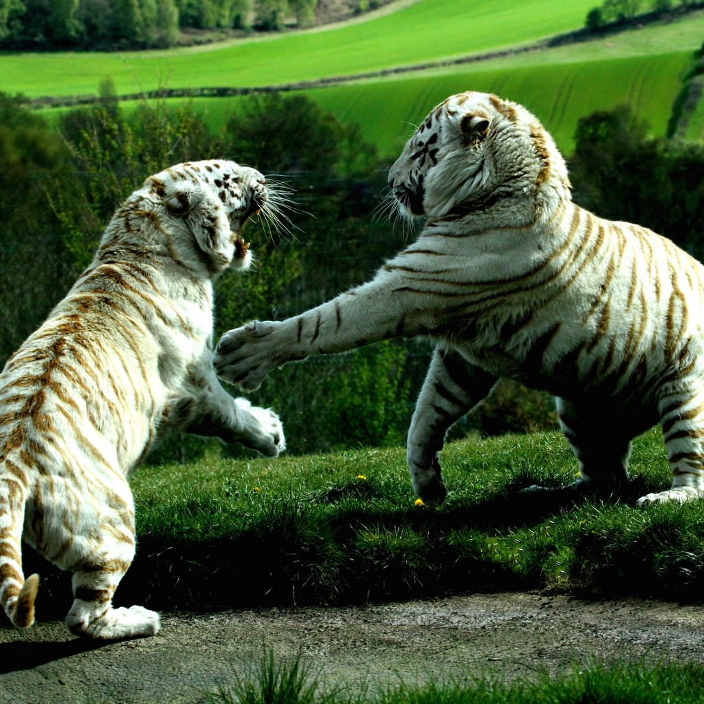 White Tigers Fighting Wallpaper for Apple iPad
