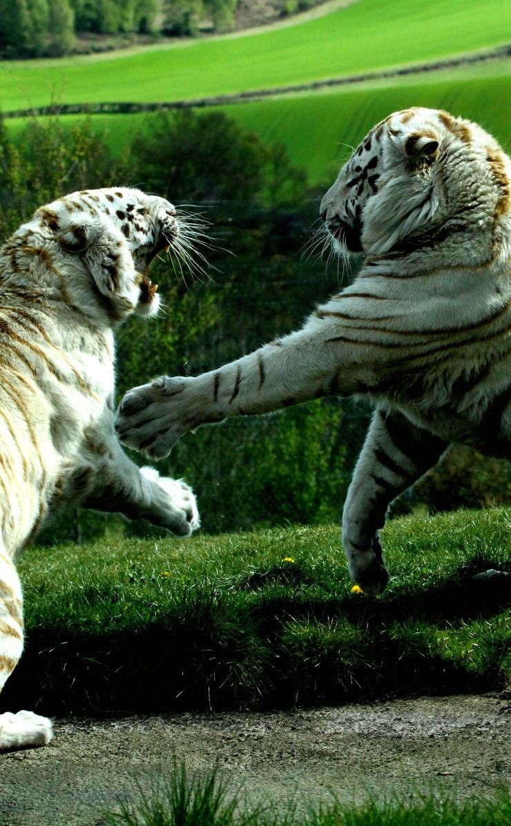 White Tigers Fighting Wallpaper for Apple iPhone 4 / 4s