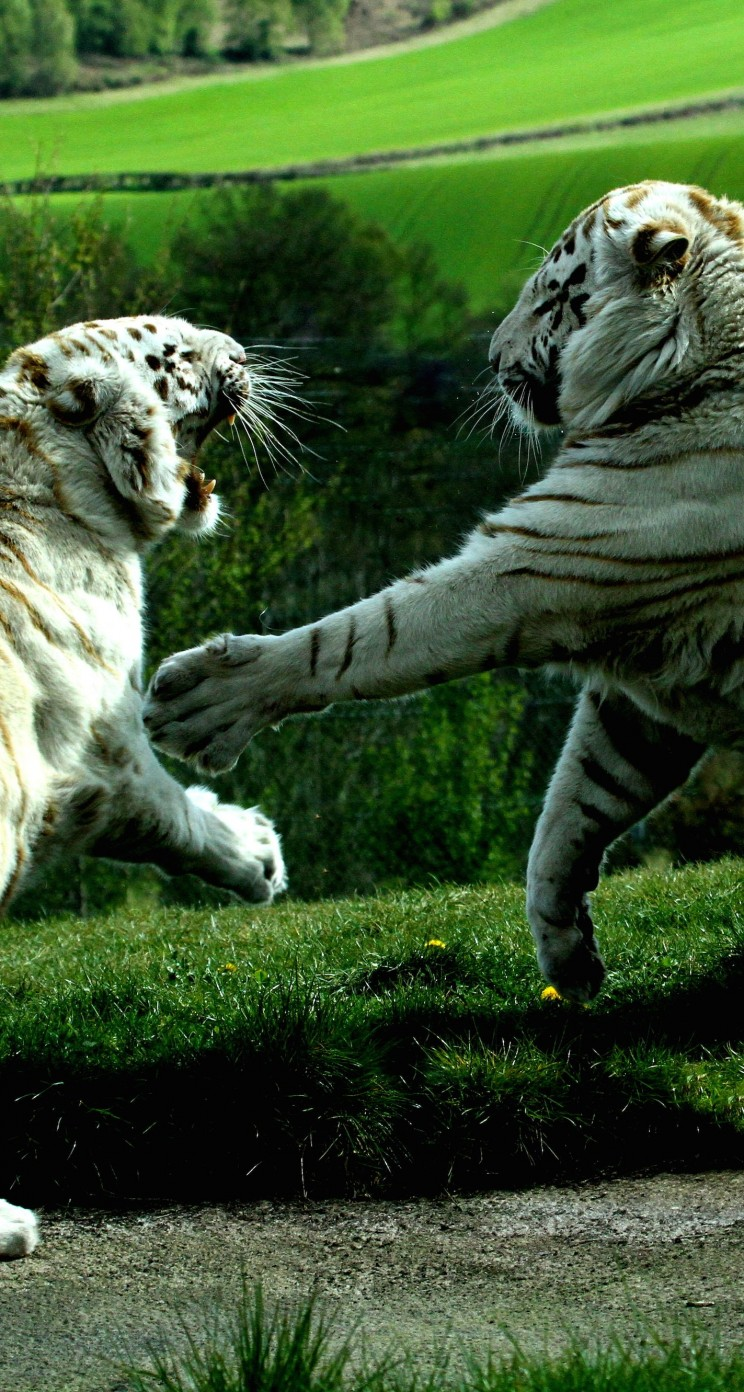 White Tigers Fighting Wallpaper for Apple iPhone 5 / 5s