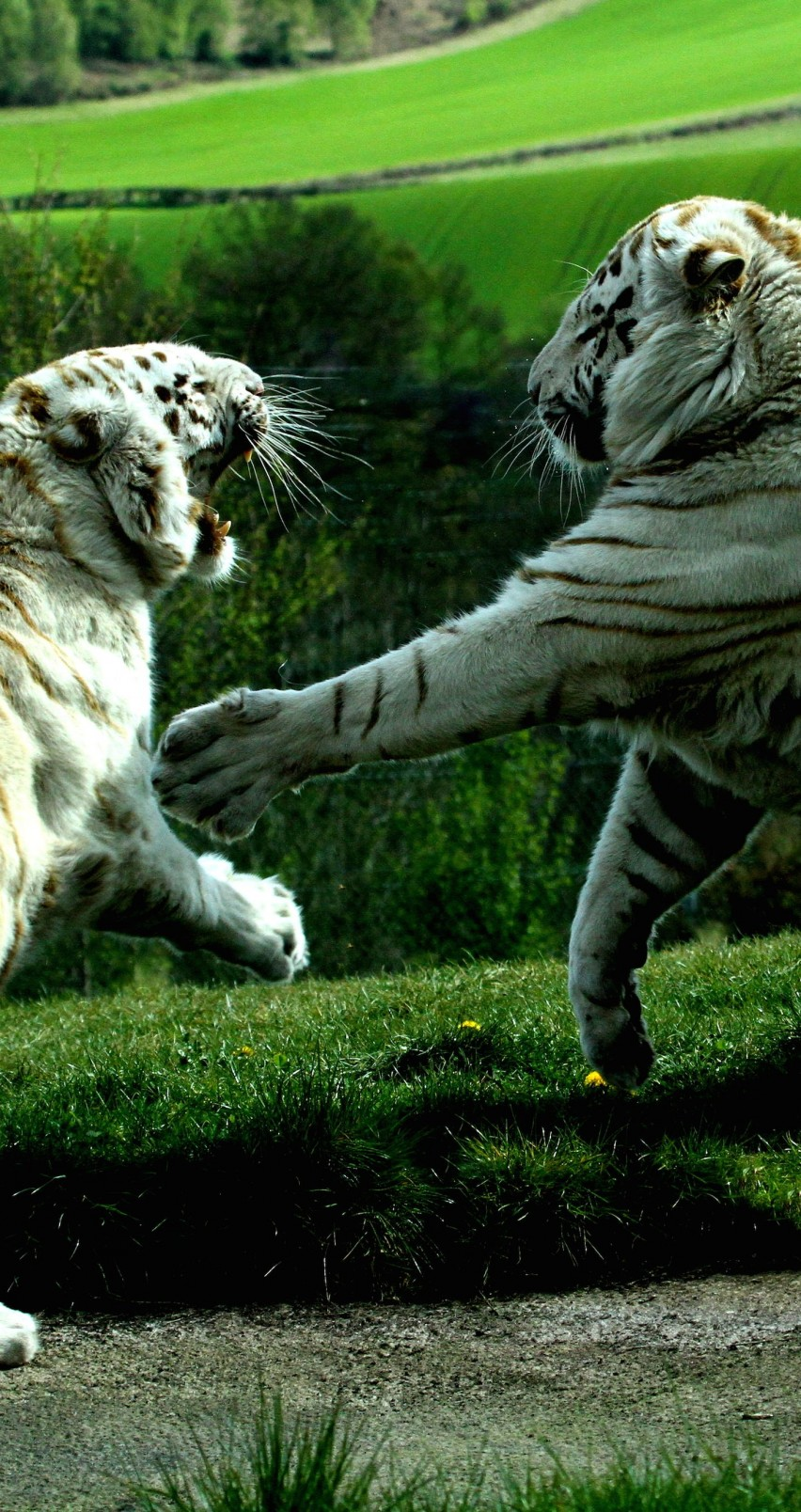 White Tigers Fighting Wallpaper for Apple iPhone 6 / 6s