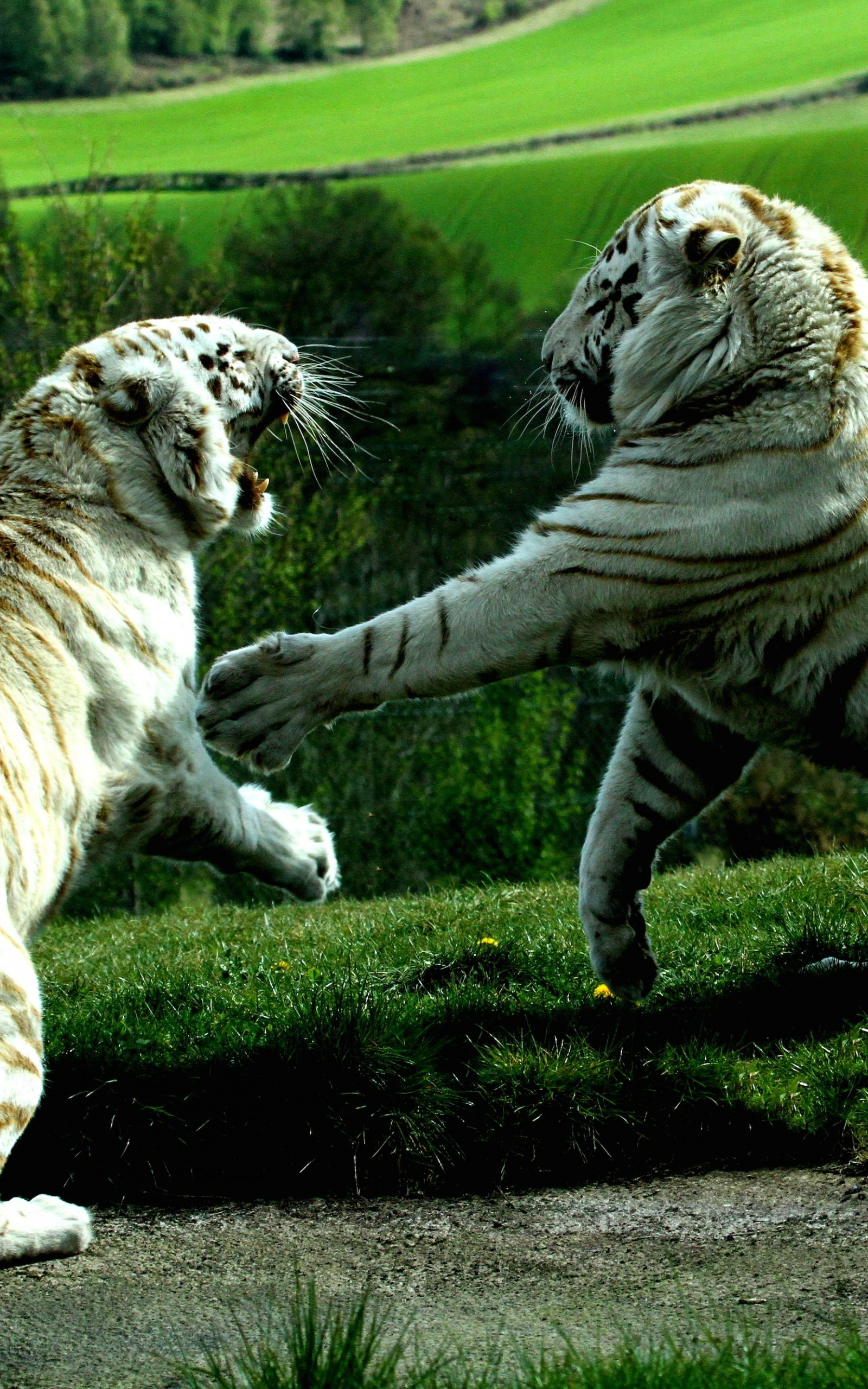 White Tigers Fighting Wallpaper for Amazon Kindle Fire HDX 8.9