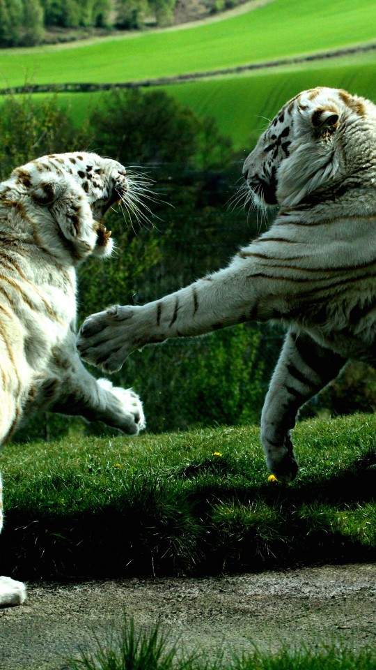 White Tigers Fighting Wallpaper for LG G2 mini