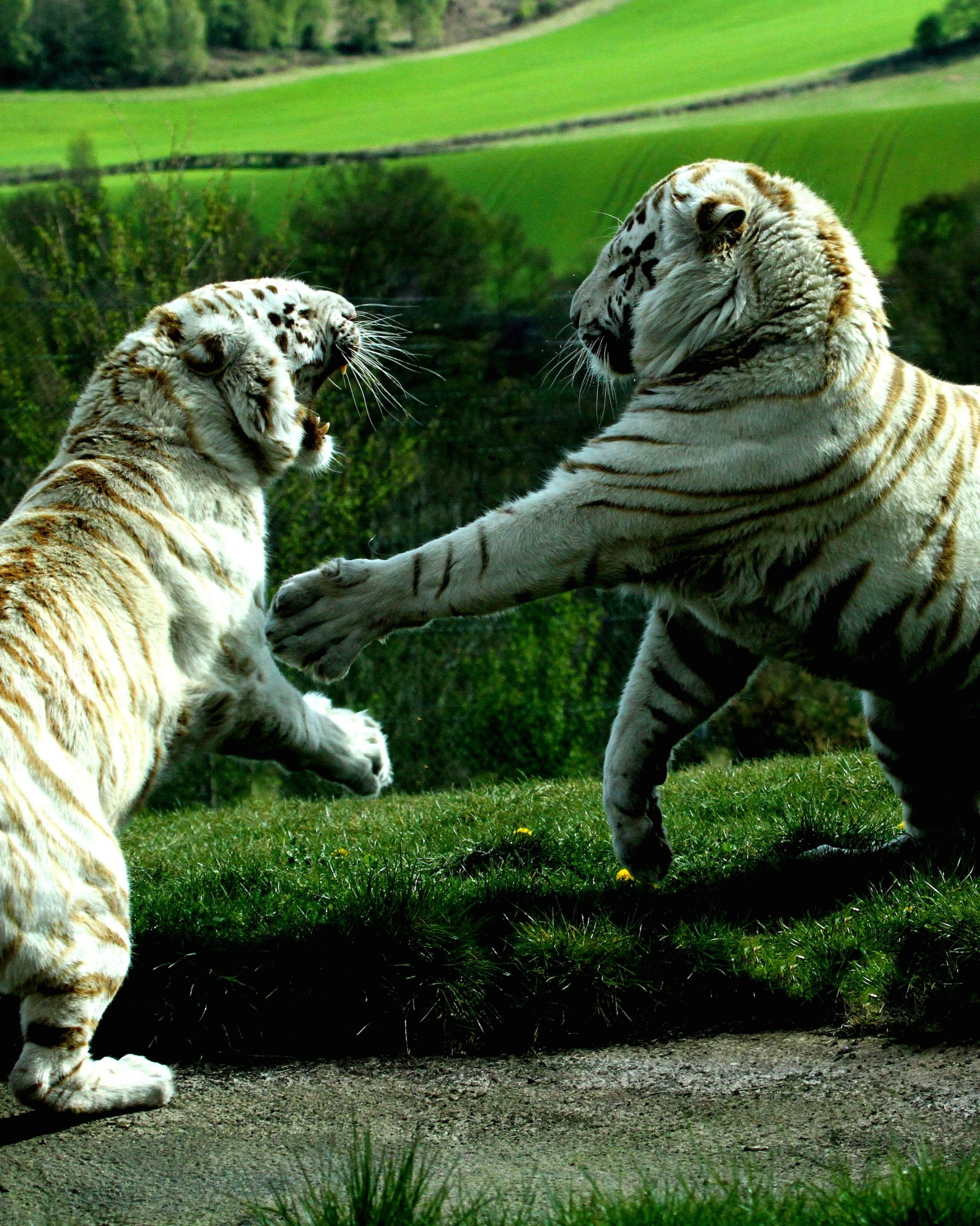 White Tigers Fighting Wallpaper for Google Nexus 7