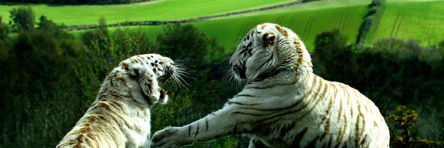 White Tigers Fighting Wallpaper for Social Media Twitter Header